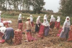 Μάζεμα πατάτας 1980